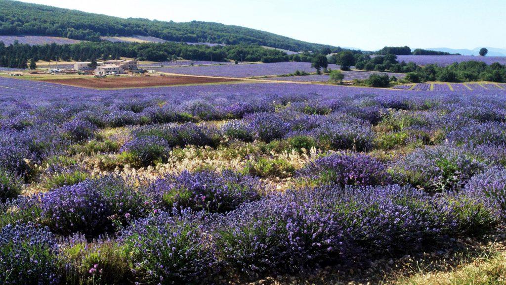 champs-de-lavande-fine-chateau-du-bois-la-garde-d-apt