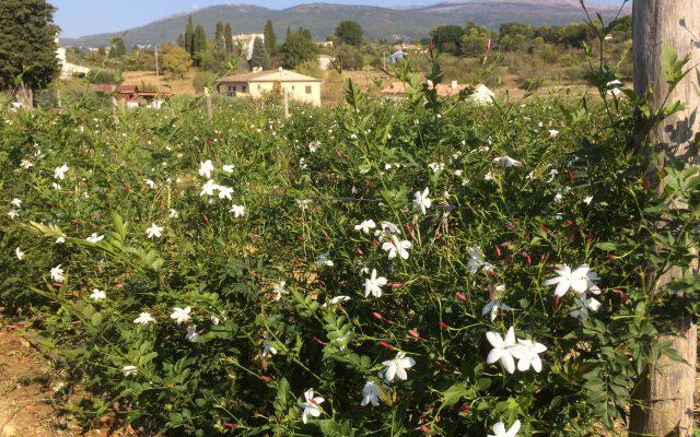 jasmine-field-grasse-