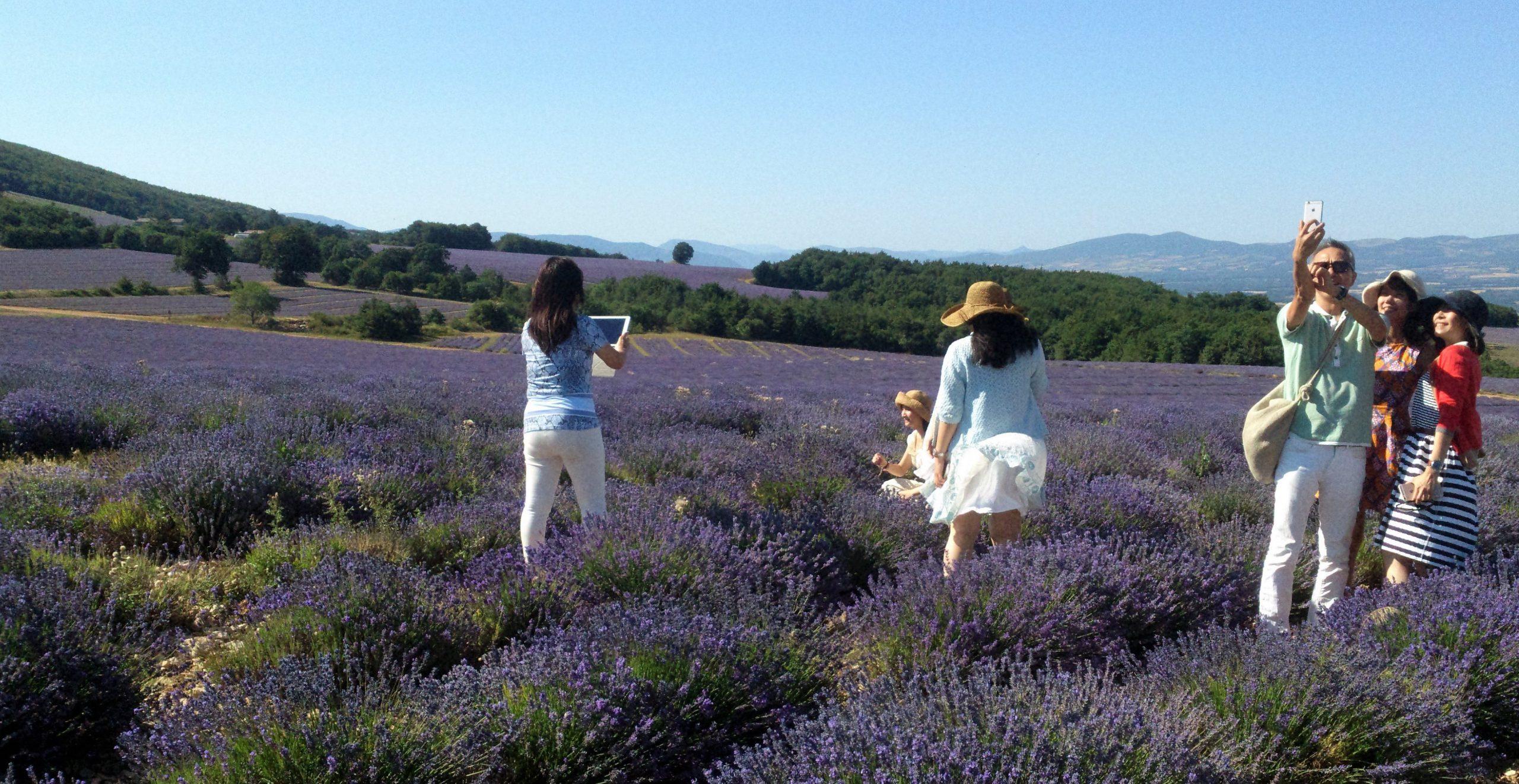 Visite des champs de lavande fine