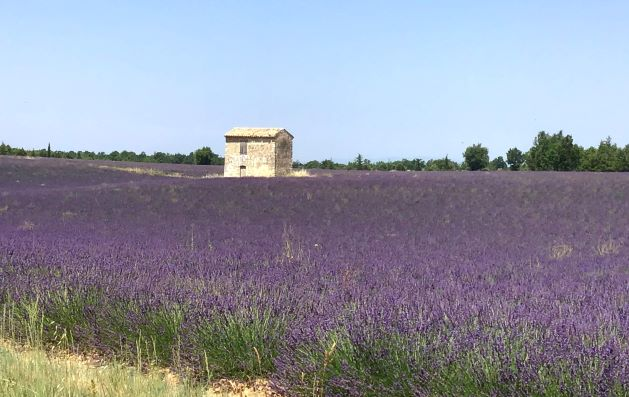 The Valensole plateau, lavender fields
