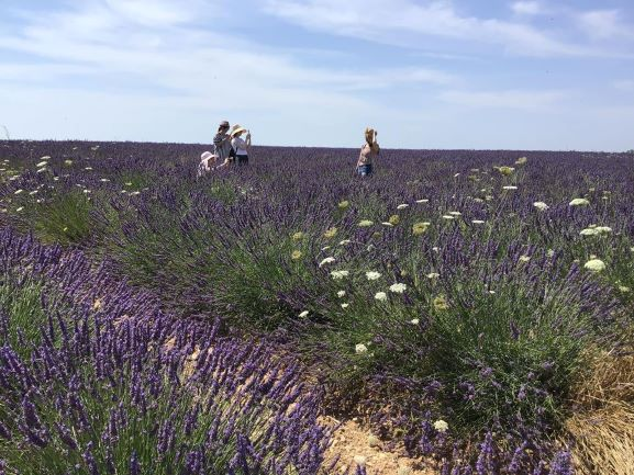 lavender-field-of-valensole