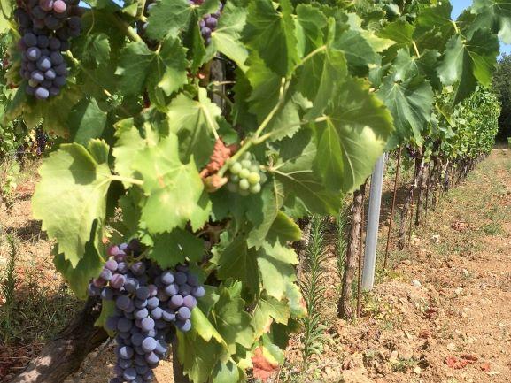 vineyard-visit-and-tasting